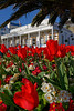 Floral St Peter Port red tulips Trafalgar Travel 120415 ©RLLord 9994 v smg