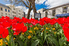 Red tulips in Trinity square, St Peter Port, Guernsey