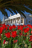 A flowerbed of red tulips in St Peter Port, Guernsey