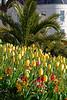 A flowerbed filled with tulips at North Plantation, St Peter Port, Guernsey