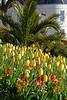 North Plantation tulip flower bed 120415 ©RLLord 0026 v smg