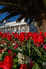 Red tulips in a flowerbed in St Peter Port, Guernsey