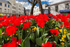 Red tulips planted in Trinity Square, St Peter Port, Guernsey