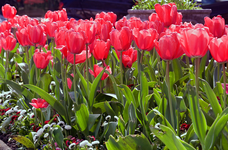 Pink tulips in Trinity Square, St Peter Port, Guernsey