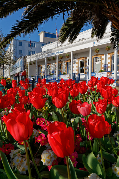 Red tulips fill a flowerbed in St Peter Port, Guernsey, Channel Islands