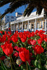 Floral St Peter Port red tulips Trafalgar Travel 120415 ©RLLord 9997 v smg