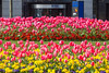 Pink tulips in flowerbeds on the Weighbridge Roundabout, St Peter Port, Guernsey