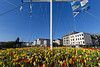 A sea of yellow tulips on the Weighbridge roundabout in St Peter Port, Guernsey