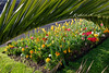 Yellow tulips fill a flowerbed at North Plantation, St Peter Port, Guernsey