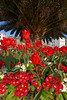 Floral St Peter Port red tulips flower bed 120415 ©RLLord 9986 v smg