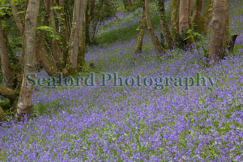 Petit Bot valley bluebells 070509 ©RLLord 3725 smg