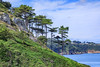 Monterey pines on Guernsey's east coast