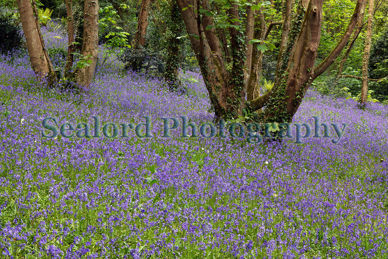 Petit Bot valley bluebells 070509 ©RLLord 3707 smg