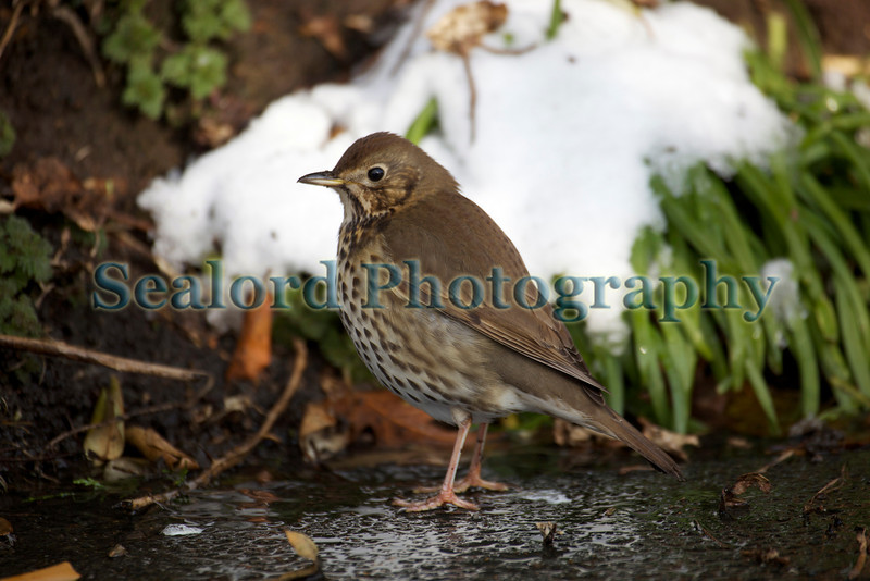 thrush Guernsey ©RLLord 020209 1222 smg