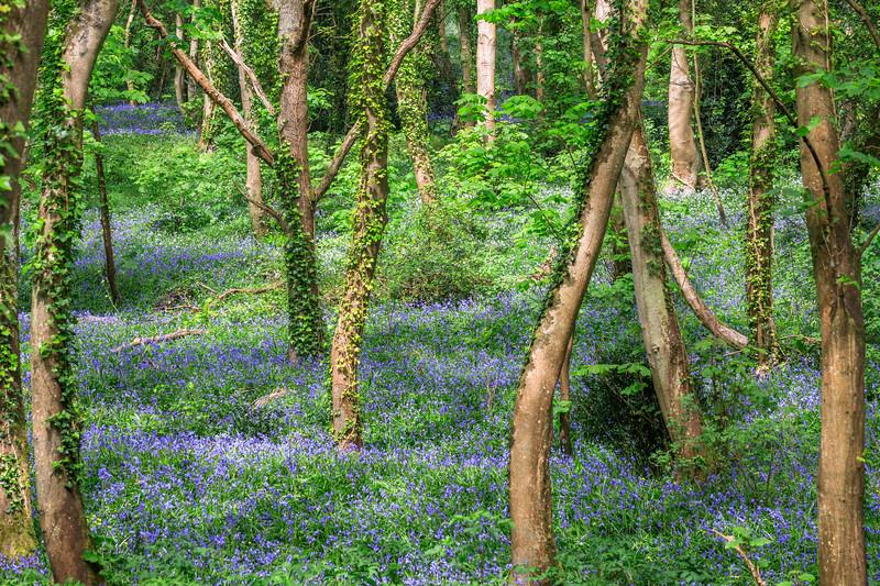 Bluebell wood, St Peter Port, Guernsey