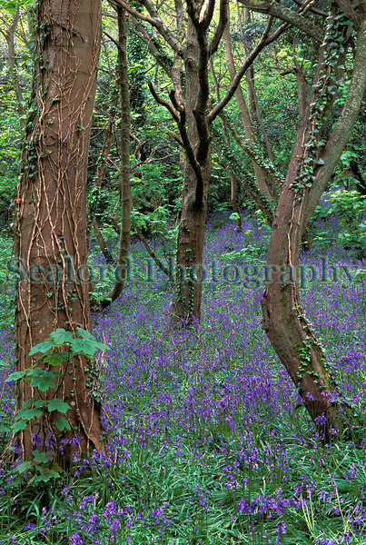 Bluebell wood on Guernsey's east coast.<br /> File No. 28-468<br /> ©RLLord<br /> fishinfo@guernsey.net