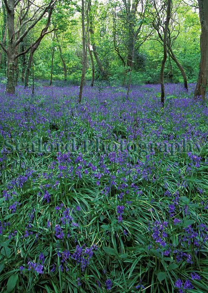 bluebell wood in April. East coast of Guernsey, Channel Islands, Great Britain<br /> File No. 23-468<br /> ©RLLord<br /> fishinfo@guernsey.net