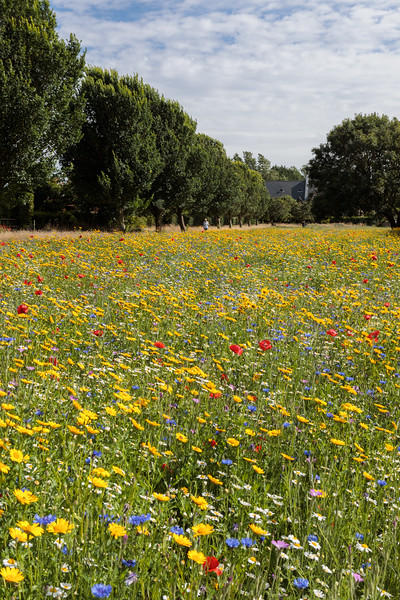 Flower meadow along Fort Road, St Peter Port, Guernsey