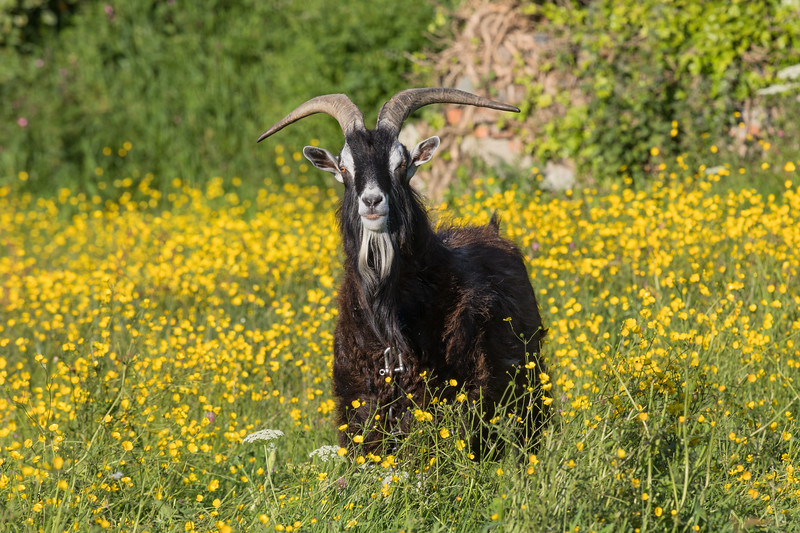 Goat in a field on Guernsey's west coast