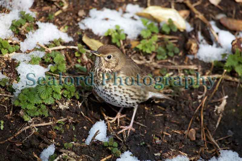 thrush snow Guernsey ©RLLord 020209 1230 smg