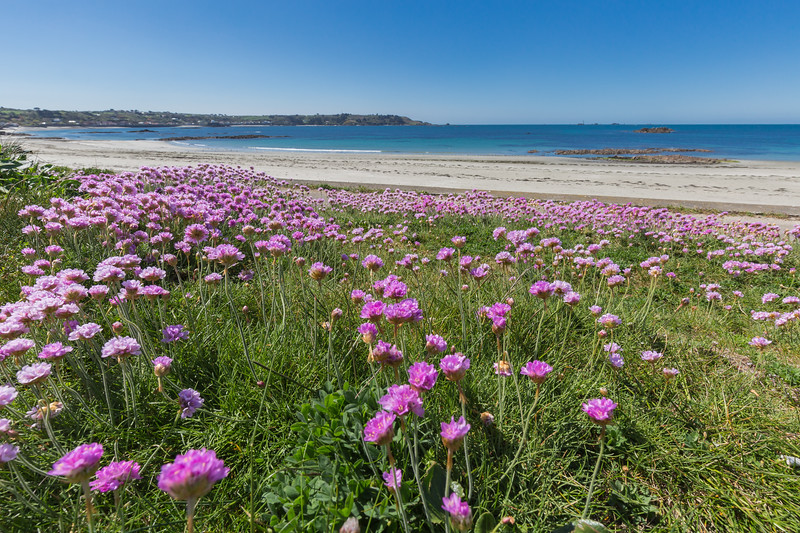 Sea thrift grows along the sea shore at L'Eree on Guernsey's west coast