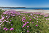 L'Eree beach thrift flowering 270415 ©RLLord 9231 smg