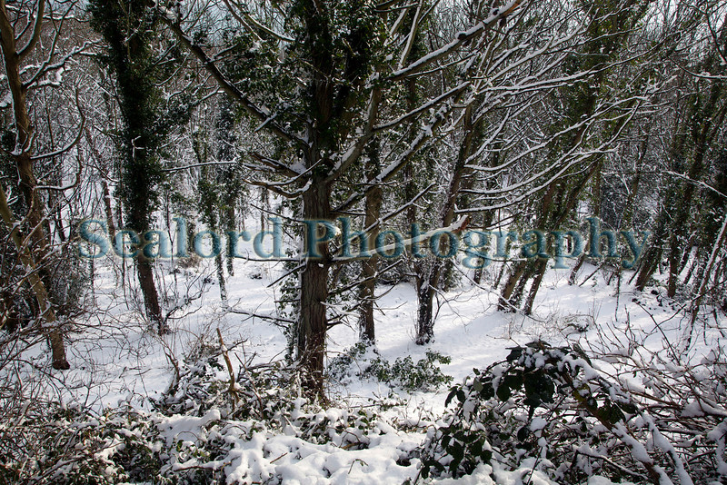 bluebell woods snow ©RLLord 020209 1199 smg