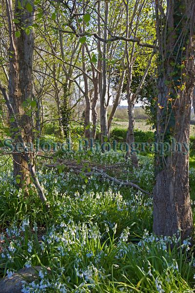 Three-cornered leek, Allium triquetrum, growing in Guernsey