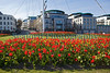 Red tulips on the Weighbridge roundabout, St Peter Port, Guernsey