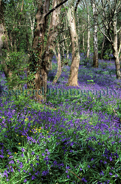 bluebell woods on Guernsey's east coast<br /> Photographed on 21 April 2002<br /> File No. 12-559<br /> ©RLLord <br /> fishinfo@guernsey.net