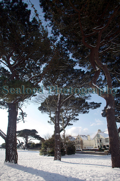 Monterey pine trees surrounded by snow next to Fort Road, St Peter Port