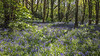 Bluebell wood, St Peter Port, Guernsey