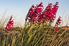 Flowers by the road side, Port Soif, Guernsey