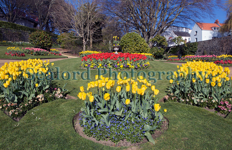 Candie Gardens St Peter Port tulips 190413 ©RLLord 7347 smg