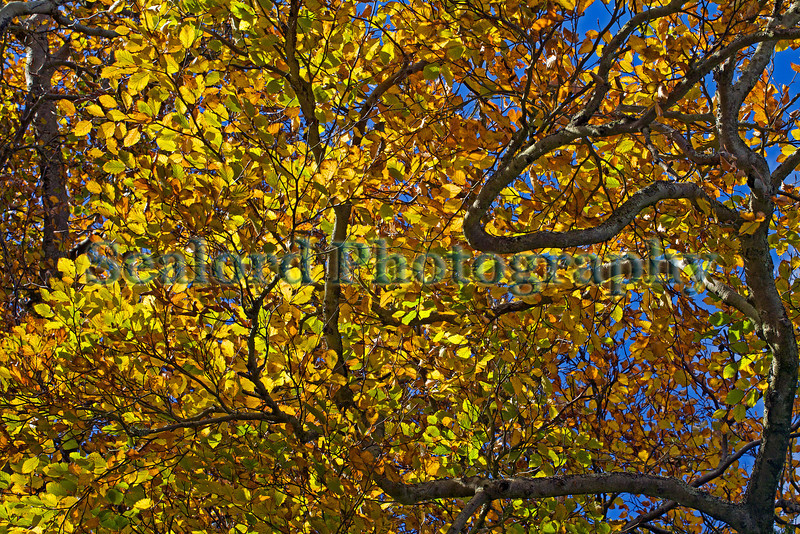 Autumn leaves above Les Vardes, St Peter Port, Guernsey