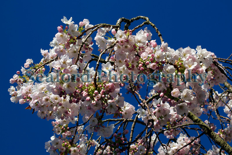 Cherry blossom by Fort Road, St Peter Port, Guernsey