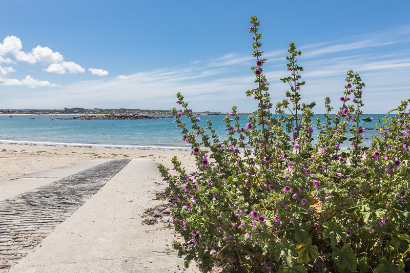 Tree mallow growing by the slipway to the Ladies Bay, Guernsey
