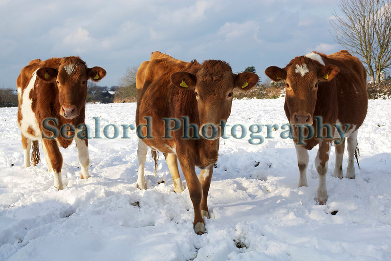 Guernsey cows in a field of snow