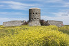 Rousse Tower No. 11 surrounded by a sea of sea radish
