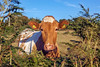 Guernsey cow 260711 ©RLLord 1652 smg