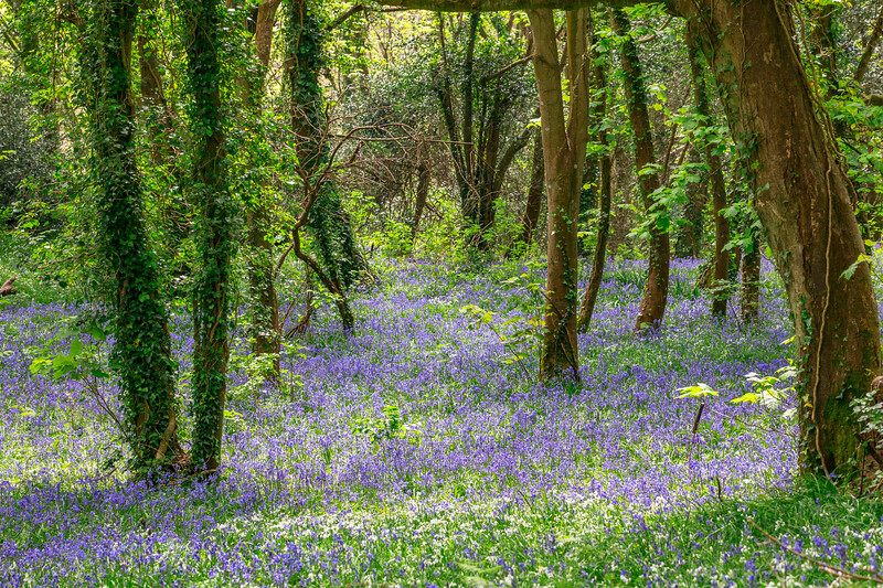 Bluebell wood, St Peter Port, Guernsey in early spring