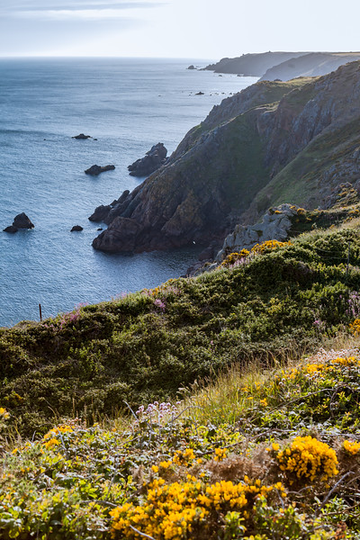Gorse or furze on Guernsey's south coast cliffs