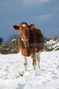 A Guernsey cow in a field of snow