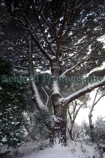 pine Montville road ©RLLord 020209 1055 smg