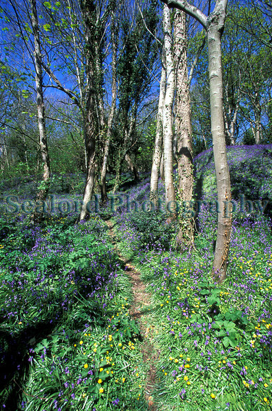 A path through bluebell wood on Guernsey's east coast.  Guernsey is a part of the British Isles and is the second largest of the Channel Islands located 80 miles south of the English coast and 26 miles west of Normandy, France and 50 miles north of Brittany, France.<br /> Photographed on 23 April 2004<br /> File No. 12-732<br /> ©RLLord<br /> fishinfo@guernsey.net