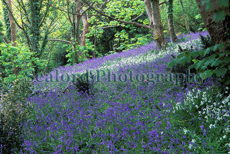bluebells and three cornered leek, Allium triquetrum, in bluebell wood on Guernsey's east coast.<br /> File No. 32-468<br /> ©RLLord<br /> fishinfo@guernsey.net