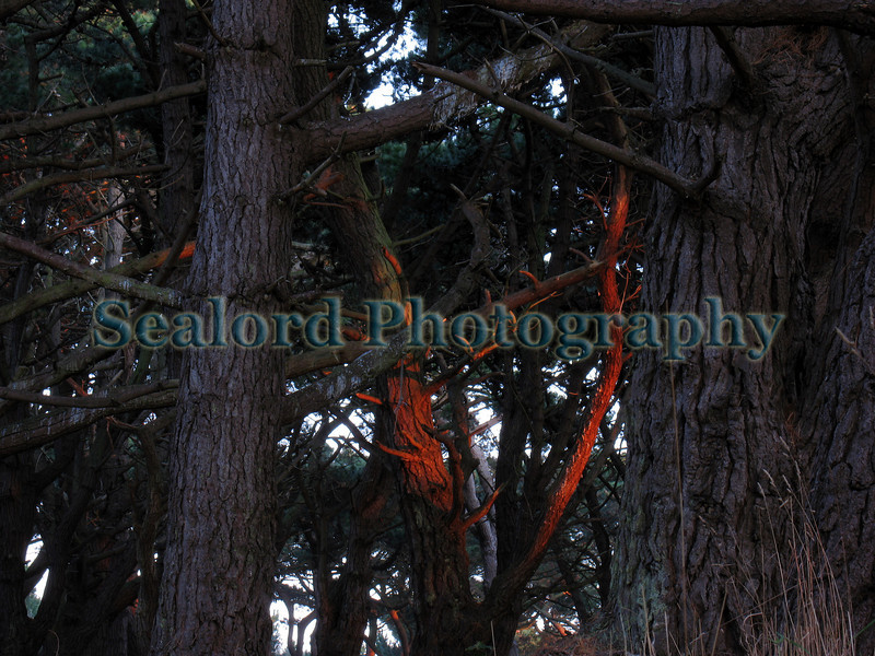 Le Guet pine forest Guernsey 111008 2367 RLLord smg
