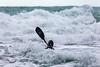 Adam Harvey on Waveski going through surf 130216 ©RLLord 6192 smg