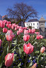 pink tulips North Plantation St Peter Port 150413 ©RLLord 6980 smg