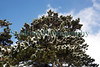 snow on pine tree Fort George ©RLLord 020209 1153 smg